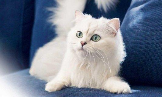 Cachorro de gato sobre sofá azul.
