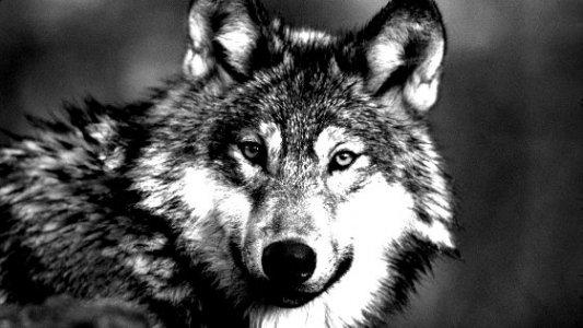 Imagen de un lobo en blanco y negro mirando a la cámara.