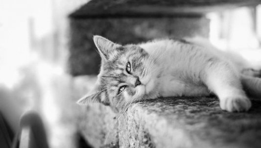 Imagen de un gato tumbado de lado mirando a la cámara en blanco y negro.