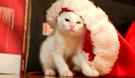 Cachorro de gato vestido con un gorro grande de Papá Noel.
