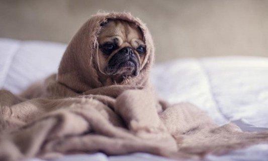 Perro pequeño con cara de triste envuelto en una manta.