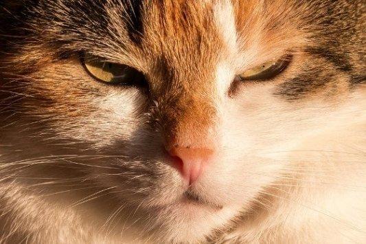 Primer plano de una gata de tres colores.