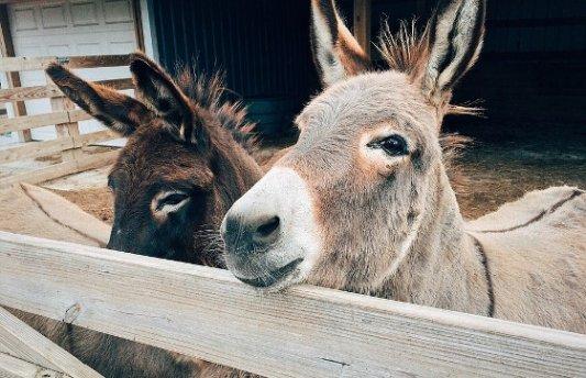 PAreja de burros en un establo.