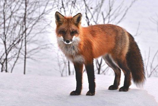 Zorro rojo en mitad de la nieve.